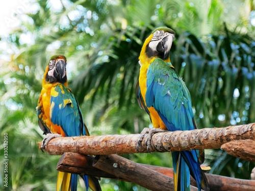 Canvastavla Couple de perroquet ara au jardin botanique de Deshaies en Guadeloupe
