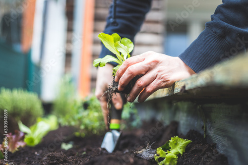 Stampa su Tela Urban gardening: Woman is planting fresh vegetables and herbs on fruitful soil in the own garden, raised bed
