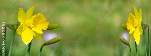 Fotografie, Obraz Spring flower background banner panorama - Yellow blooming Easter bell daffodil