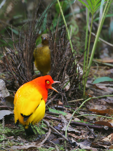 Fotomural Male Flame Bowerbird singing with vivid colours at bower to attract female in na