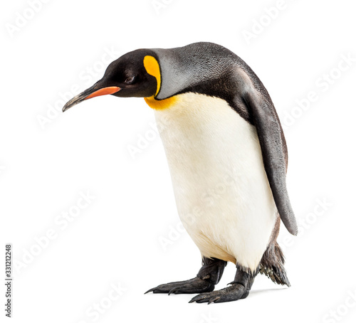 Fotografia King penguin looking down, isolated on white