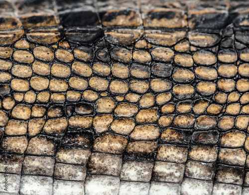 detail of a Fish-eating crocodile scales, Gavial Fototapete
