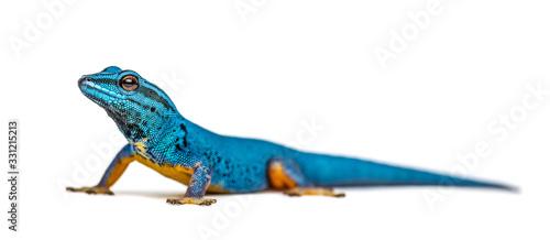 Fotografia Electric blue gecko looking at the camera, Lygodactylus williams