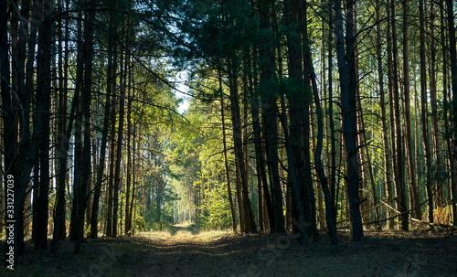 Fotografia Sunny passage in a picturesque dark forest
