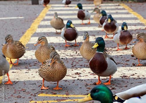 Mallard ducks on a road crossing near Derwent Dam Derbyshire Fototapet