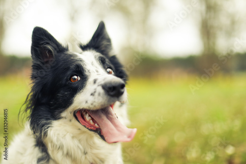 Leinwand Poster Black and white border collie dog panting and looking at the camera