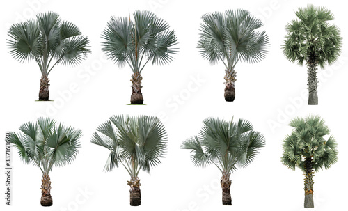 Obraz na plátně Collection Beautiful bismarck palm trees Isolated on white background , Suitable for use in architectural design , Decoration work , Used with natural articles both on print and website