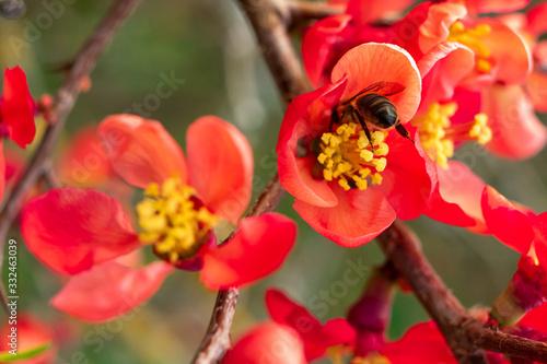 Foto abeille butinant une fleur de cognassier