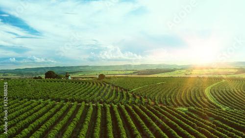 Obraz na plátně Aerial image of coffee plantation in Brazil, at sunset time