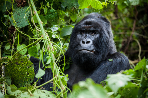 Obraz na płótnie An amazing portrait of an endangered silverback mountain gorilla in wilderness