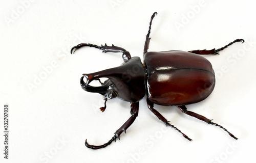 Photographie Rhinoceros beetle, Hercules beetle, Unicorn beetle, horn beetle male isolated on