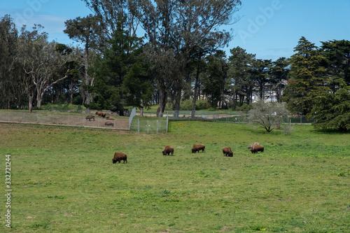 Fényképezés 5 Buffalo Grazing, 5 baby bison in background,  San Francisco Bison Paddock