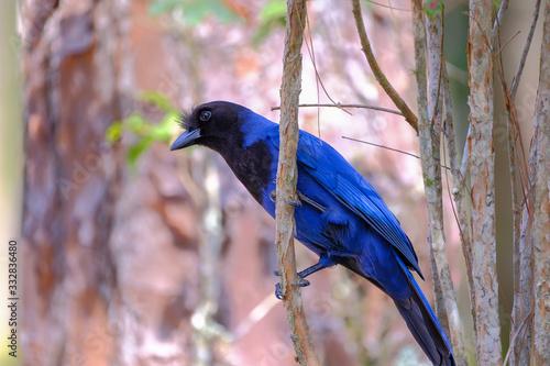 Photo Azure Jay, Gralha Azul or Blue Jackdaw bird, Cyanocorax Caeruleus, Parque Estadu