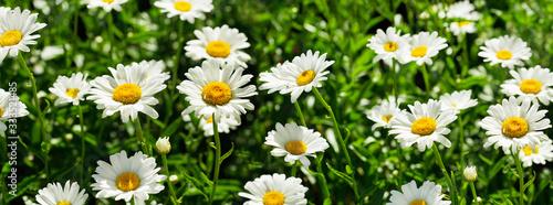 Fotografia, Obraz blooming daisy flowers in a field