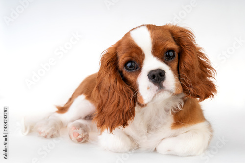 Slika na platnu Little dog Cavalier King Charles Spaniel