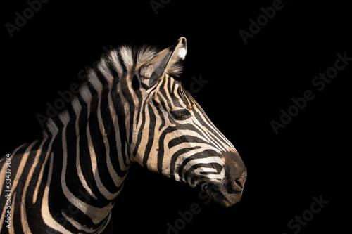 Fototapeta Detail colour portrait zebra on the black background