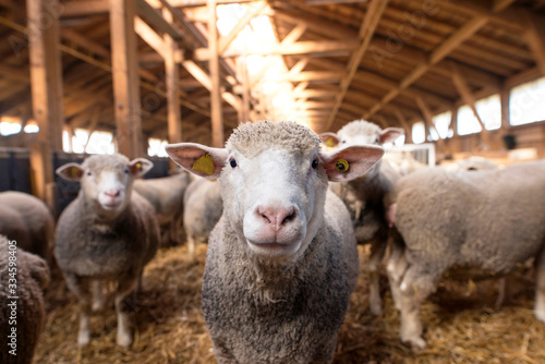 Carta da parati Sheep looking at camera in the wooden barn