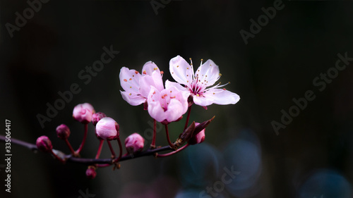 Foto Spring flower background - Pink beautiful blooming cherry blossoms and bokeh on