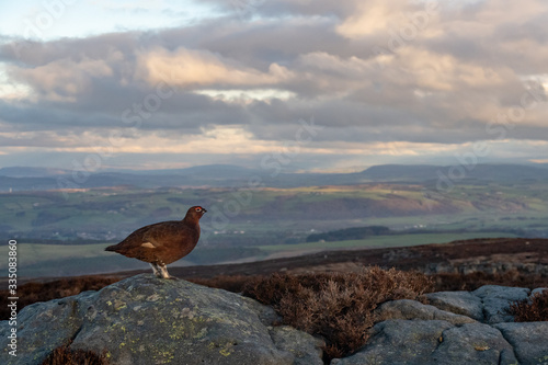 Valokuva Red grouse admiring the view