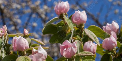 Cognassier en fleurs au mois d'avril Fotobehang