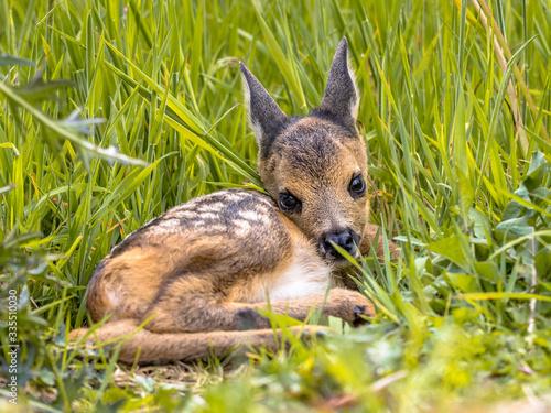 Canvas Print Baby roe deer