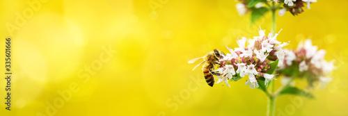 Fotografía A wild bee visits the flowers of oregano (Origanum vulgare)