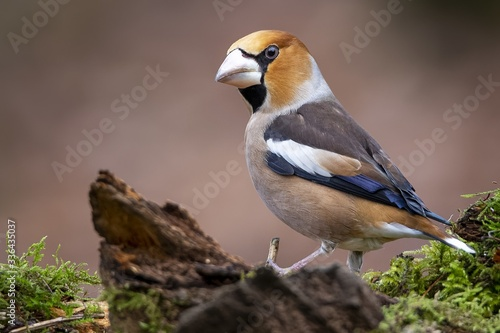 Fotografiet Closeup shot of a male hawfinch sitting on a branch with a blurry background