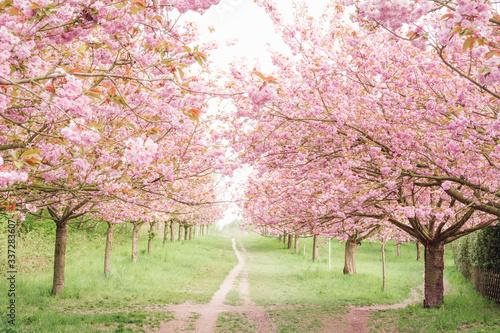 Fototapeta Pink Cherry Blossoms In Spring