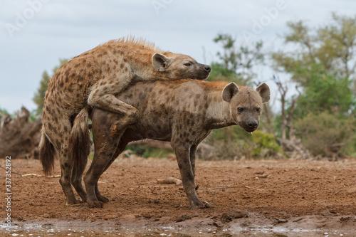 Fotografie, Obraz spotted hyena mating