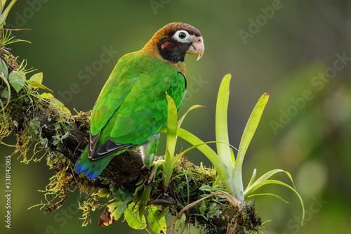 Obraz na plátně Brown-hooded parrot (Pyrilia haematotis)