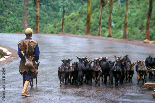 Fotografie, Tablou Goat herder with goats in Dali, Yunnan Province, People's Republic of China