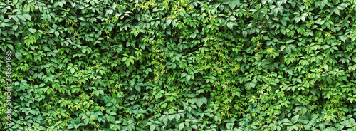 Fotografia green ivy leaves wall background. nature texture plants