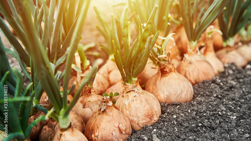 Foto Planting onion in garden