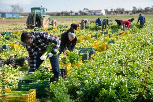 African american farm worker arranging crop of celery in boxes Fototapeta