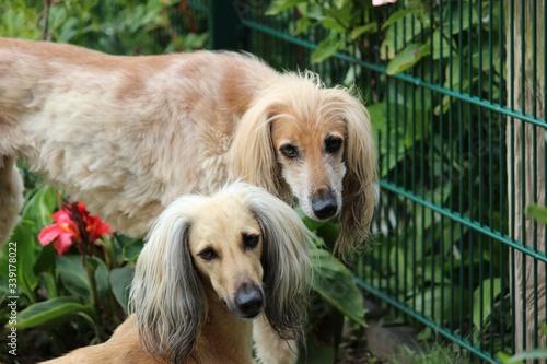 Valokuvatapetti Portrait Of Sighthounds In Garden