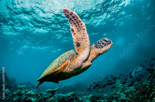 Green sea turtle swimming around colorful coral reef formations in the wild Fototapeta