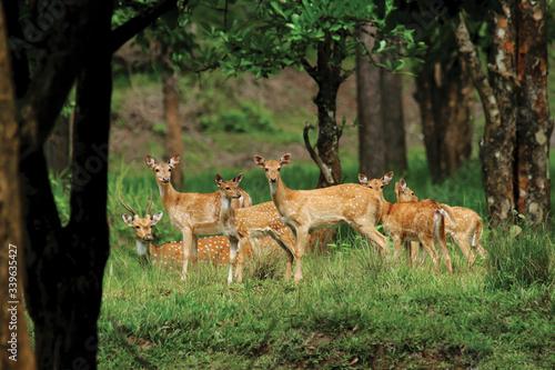 Fototapeta Spotted deer herd in evergreen indian forest
