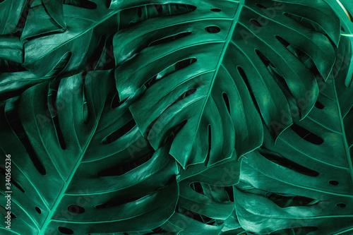 Fototapeta zbliżenie natura widok zielonego liścia monstera
