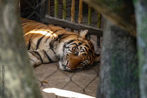 Valokuva Captive Malayan tiger in a United States zoo.