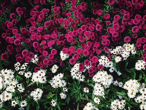 Fototapeta View Of Colorful Flower Bed