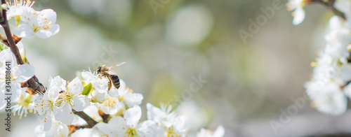 Fotografija Banner background with bee and blooming tree branches, honey production and spri