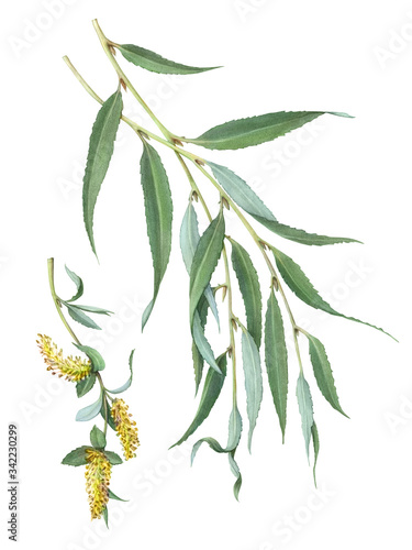 White Willow Hand Drawn Illustration Isolated on White with Clipping Path Fototapeta