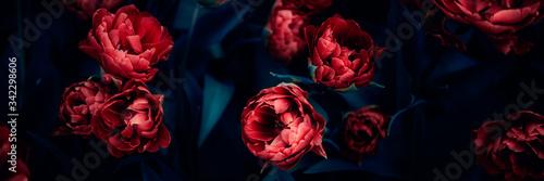 Fototapeta premium Zbliżenie kwitnących kwietników niesamowitych tulipanów różowej papugi wiosną. Publiczny ogród kwiatowy, Holandia. Ciemne nastrojowe zdjęcie, rozmiar banera