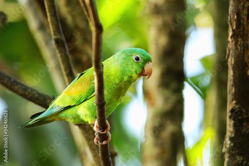 Canvas Print Orange-chinned parakeet (Brotogeris jugularis) sitting in a tree