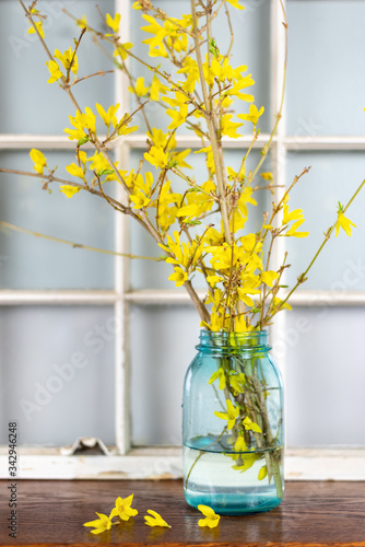 Fresh cut forsythia branches in a vintage blue glass jar Fototapeta