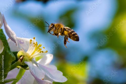 Fototapeta Honey bee, pollination process