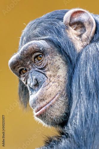 Canvas portrait of cute chimpanzee in natural habitat