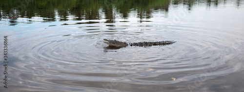 Fotografering Panoramic View Of Crocodile Swimming In Lake