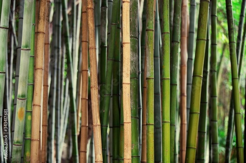 Bamboos Growing In Forest Poster Mural XXL