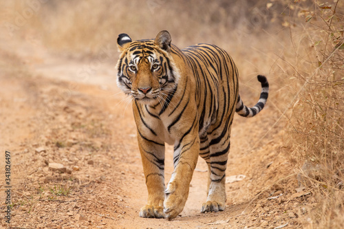 Fotografering bengal tiger in the wild